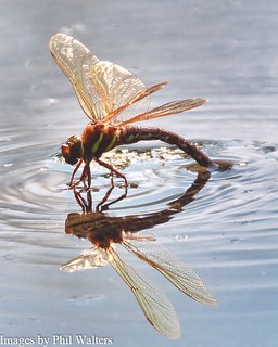 Dragonfly laying its eggs