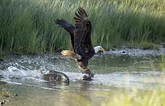 Eagle Fish Plus 841 (Gillfoto) Tags: eagle salmon alaska juneau fedding grass wings haliaeetusleucocephalus