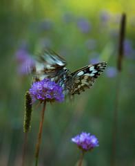 Danse de l'air (chloe.iche) Tags: papillon demideuil butterfly nature forêt vert bleu green blue fleur flower fontainebleau forêtdefontainebleau butiner air ailes wings légèreté movement gathering dansedelair deuxpapillons bataille melanargiagalathea