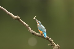 kingfisher (simonrowlands) Tags: kingfisher alcedo atthis ponds rivers streams lakes juvenile