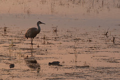 Sandhill Crane at sunset - Horicon Marsh National Wildlife Refuge (turn off your computer and go outside) Tags: 2017 anasclypeata antigonecanadensis birdsofminnesotaandwisconsinpage121 birdsofminnesotaandwisconsinpage70 horiconmarsh northernshoveler wi wisconsin bird critter dusk identified outdoors sandhillcrane spring