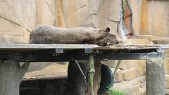 Milwaukee County Zoo - Bear (BobbbyLight) Tags: milwaukeecountyzoo zoo 2018 animals bear