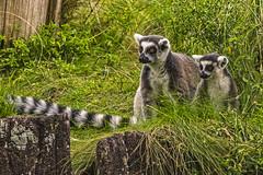 Lémures (Wal Wsg) Tags: 7dwf 7dwfsundaysfauna lemur lémures primate mundoanimal animalworld animales animal animals canon canoneosrebelt3 phwalwsg photography argentina