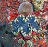Clam 4 (Petter Thorden) Tags: diving indonesia gili trawangan underwater clam