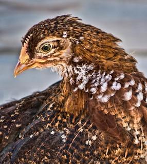 A Fowl Portrait