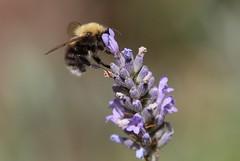 Garden Bumble Bee, Garden, Upper Cwmbran 22 July 2018 (Cold War Warrior) Tags: garden bumble bee cwmbran bombushortorum