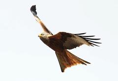 DSC_0566 (PeaTJay) Tags: nikond300s reading lowerearley berkshire outdoors nature birds birdsofprey redkite