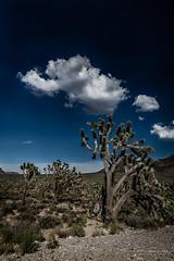 Joshua trees in AZ (JP Defay) Tags: america arizona americanlandscapes grandcanyon cloud tree joshua travelphotography travel