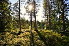 woodland sunshine (charlottehbest) Tags: charlottehbest autumn 2017 scandinavia roadtrip norway honeymoon theadventuresofhenryjruffington
