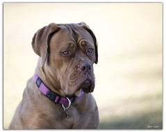 Dogue de Bordeaux (Bear Dale) Tags: dogue de bordeaux ulladulla new south wales nikon d850 nikkor afs 70200mm f28e fl ed vr puppy dale lake conjola dog dogs zoom nature fotoworx beardale lakeconjola shoalhaven southcoast framed perros chiens photo photograph groups group flickr