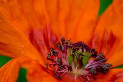 Volcano (Tony Shertila) Tags: talycafn wales unitedkingdom europe britain flower poppie petal stamen heart red conway bodnant nationaltrust garden macro