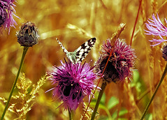 Marbled White (Fr Paul Hackett) Tags: butterfly grass sunshine downland insect