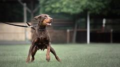 Challenger (zola.kovacsh) Tags: outdoor animal pet dog club show dobermann doberman pinscher