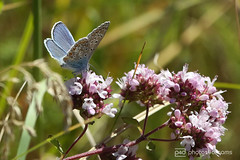 butterfly trail 01.07.2018 -p4d-0156 (event-photos4dreams (www.photos4dreams.com)) Tags: gersprenz münster hessen germany naturschutz nabu naturschutzgebiet photos4dreams p4d photos4dreamz nature river bach flus susannahvictoriavergau susannahvvergau eventphotos4dreams butterfly butterflies canoneos5dmarkiii schmetterling schmetterlinge
