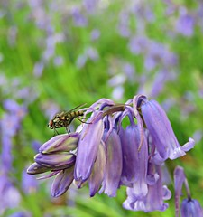 Bluebell Visitor! ('cosmicgirl1960' NEW CANON CAMERA) Tags: lanhydrock nt parks gardens nature green blue bluebells flowers worldflowers wildflowers spring cornwall yabbadabbadoo