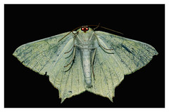 Swallow-tailed Moth Ourapteryx sambucaria (underside) (Mark Wasteney) Tags: happywingwednesday moth insect invertebrate closeup hww macro