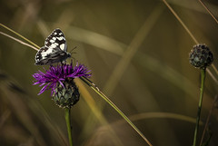 Marbled white butterfly - Melanargia galathea (Paul M Loader) Tags: canon eos 5d mark iv ef300mm f28l is usm 14x iii