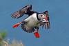 puffin (Explore) (DODO 1959) Tags: wildlife nature avian birds outdoor animal puffin flight sandeels landing fauna feeding wales pembrokeshire skomerisland olympus omdem1mk2 300mmf4 micro43