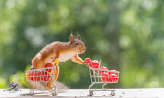 red squirrel is holding two shopping cart (Geert Weggen) Tags: agriculture animal backgrounds closeup colorimage crop cultivated cute dirt environment environmentalconservation environmentaldamage environmentalissues food freshness gardening global greenhouse growth harvesting healthyeating horizontal humor lifestyles mammal nature newlife nopeople organic outdoors photography planetspace planetearth plant pollution red rodent seed socialissues springtime squirrel summer tomato vegetable garden shoppingcart bispgården jämtland sweden geert weggen ragunda hardeko