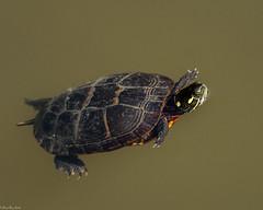 Floating free (Fred Roe) Tags: nikond810 nikkorafs80400mmf4556ged nikonafsteleconvertertc14eii nature wildlife reptile turtle easternpaintedturtle chrysemyspicta peacevalleypark