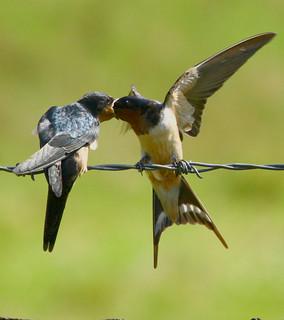 Barn-Swallow-46w