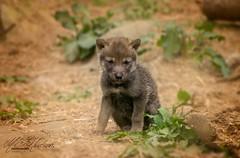 European wolf pup (Mandyjj543) Tags: european wolf pup puppies puppy wild wildlife nature