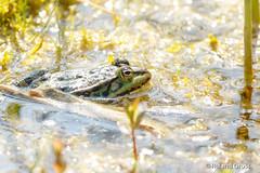 Frosch/Kröte 15 (rgr_944) Tags: frosch kröte frog grenouille toad crapaud amphibian amphibien tiere natur outdoor canoneos60deos70deos80deos7dmk2eos5dmk4 rgr944