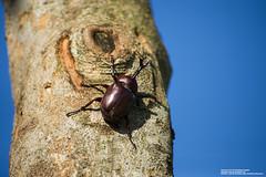 2018-06-30 獨角仙 (snailss (蝸牛)) Tags: 宜蘭市 獨角仙 光臘樹 蜜源植物 繁殖期 夏天 教材 季節限定