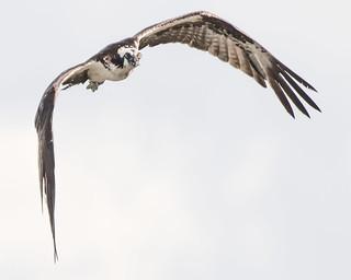High Key Osprey in Flight