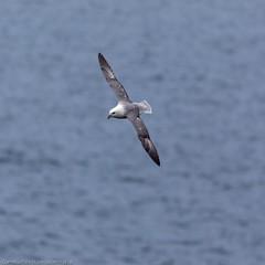 Next Morning at Latheronwheel harbour (doublejeopardy) Tags: bird seabird latheronwheel fulmar scotland unitedkingdom gb