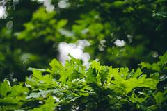 DSCF0069 (shopiukas) Tags: fuji fujifilm xt10 58mm helios helios44m4 m42 bokeh manual test lietuva lithuania mažeikiai walkaround lightroom leaves tree trees nature green bokehlicious depth depthoffield blur background astia