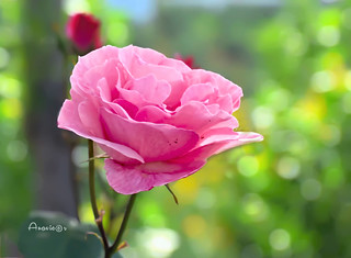 A rose and bokeh