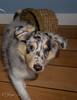puppy love (JosjeToby) Tags: puppy sheltie shelties shetlandsheepdog shetlandsheepdogs sheepdog shetland dogs doggies dog adorable sweet sonya6000 cute