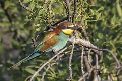 Abejaruco europeo (Merops apiaster) (jsnchezyage) Tags: abejarucoeuropeo meropsapiaster ave pájaro bird birding birdwatching ornithology beak feather europeanbeeeater