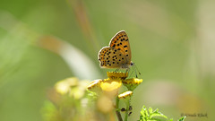 Der Feuerfalter genießt die wärmenden Sonnenstrahlen (Oerliuschi) Tags: butterfly schmetterling tagfalter natur feuerfalter sonnenschein blüte gelb nahaufnahme lumixgh5 panasonic rainfarn sandgrube oerlinghausen