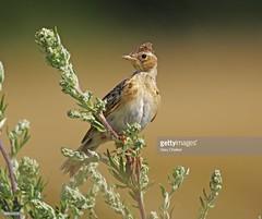 Skylark juvenile (Gary Chalker, Thanks for over 3,000,000. views) Tags: skylark bird juvenile pentax pentaxk3ii k3ii pentaxfa600mmf4edif fa600mmf4edif fa600mm 600mm