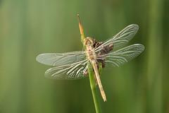 Black-tailed Skimmer. (5300foto) Tags: libel libelle skimmer oeverlibel nature natuur nikon d750 macro closeup nearby bokeh dof oof outoffocus