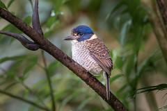 Scaly-breasted Kingfisher (BP Chua) Tags: bird nature wild wildlife animal kingfisher scalybreasted indonesia sulawesi endemic tomohon mahawu nikon 600mm d850 juvenile