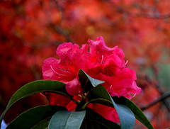 HOT PINK RHODODENDRON - WHAT A BEAUTY OF A  FLOWER!  BEATS THE TROPICAL EXOTICS FOR SURE... (vermillion$baby) Tags: missionarea bokeh flower red rhododendrum spring flowers color tree blossom