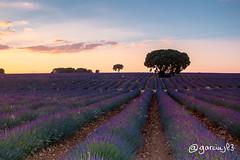 Campos de Lavanda en Brihuega (garciajl3) Tags: campo fields lavanda lavender atardecer sunset azul blue morado purple arbol tree guadalajara brihuega españa spain