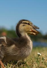 Threeduckling (reginakuipers) Tags: ommen overijssel nederland ducklings kuiken eend 35mm nikon d3100 bird vecht mallard