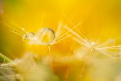 big yellow ball (ecstaticist - evanleeson.com) Tags: 1000drops 1000dropsoflight macro yellow dandelion seed droplets