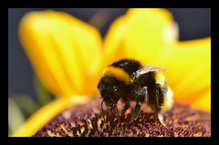 Busily  #Explored 19-07-2018 (frankvanroon) Tags: 7dwf macroorcloseup macrodreams bumblebee busily busy insect nature sunflower flower flora fauna macro hbw