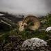 Bighorn Sheep Skull (GlacierNPS) Tags: