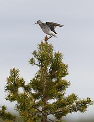 Wood Sandpiper - Karigasniemi, Finland