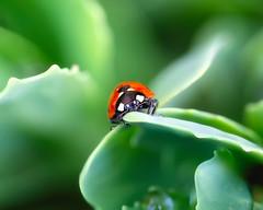 Lady (Saptashaw Chakraborty) Tags: canada ontario manitoulinisland manitoulin canon 6d sigma 105macro macro ladybug red insect animal wildlife summer
