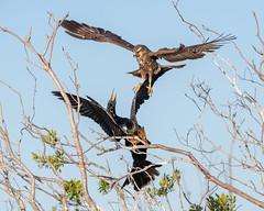 Territory Tussle (PeterBrannon) Tags: anhinga battle bird florida kite nature raptor rostrhamussociabilis snailkite talons wildlife birdinflight territory