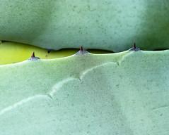 SpinePath.jpg (Klaus Ressmann) Tags: klaus ressmann color hrmalilushin nature nikon plant spring cactus design flcnat green macrophotography minimal klausressmann