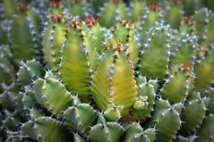 Euphorbia resinifera (Resin spurge) (Abariltur) Tags: abariltur castellón spain nikond90 afsvrmicronikkor105mmf28gifed macro resinspurge cardónresinoso euphorbiaresinifera cactus euphorbiaceae euphorbia benicássim castellódelaplana
