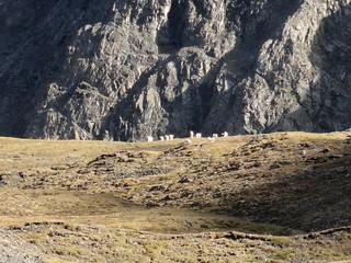 Alaska Dall Sheep Hunt & Moose Hunt 44